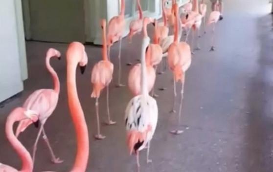 Ինչպես են փոթորկի ժամանակ տարհանում ֆլամինգոներին (վիդեո)
